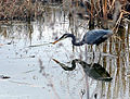 Great Blue Heron (72081579).jpg