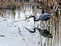 Great Blue Heron (72081579).jpg