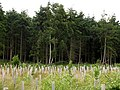 Great Copse, Plantation Management - geograph.org.uk - 23943.jpg