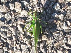 Great Green Bush-Cricke (Tettigonia viridissima) in Sweden 2011..jpg