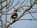 Great Hornbill DSCN8644 06.jpg