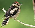 Great Spotted woodpecker (juvenile).jpg