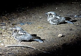 Greater Antillean Nightjar. Caprimulgus cubanensis - Flickr - gailhampshire (1).jpg