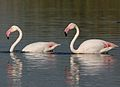 Greater Flamingo, Phoenicopterus roseus at Marievale Nature Reserve, Gauteng, South Africa (27289977613).jpg