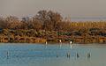 Greater Flamingos, Lido de Thau, Sète 02.jpg
