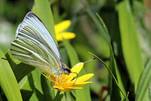 Green-veined white butterfly (Pieris napi) underside.JPG