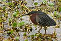 Green Heron at Lake Woodruff - Flickr - Andrea Westmoreland.jpg