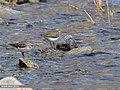 Green Sandpiper (Tringa ochropus) (34973168024).jpg