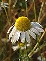 Grenchen - Matricaria chamomilla.jpg