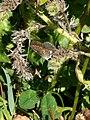 Grenchen - Polyommatus icarus (female) v3.jpg