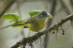 Grey-cheeked Warbler - Eaglenest - Arunachal Pradesh -- India FJ0A0002 (34204822962).jpg