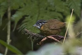 Grey-throated babbler Zuluk East Sikkim Sikkim India 24.05.2015.jpg