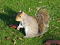Grey Squirrel, Sciurus Carolinensis - geograph.org.uk - 287413.jpg