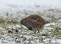 Grey partridge (33493290358).jpg