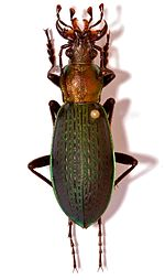 Ground Beetle (Coptolabrus jankowskii lii) male (8554331517).jpg