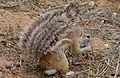 Ground Squirrel (Xerus inauris) (6511380819).jpg