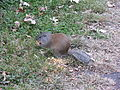 Ground Squirrel Nebraska 3719.jpg