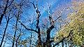 Grupa drzew, 4. dębów i 1. lipy na skraju lasu prudnickiego, Prudnik 2018.10.31 (12).jpg