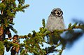 Hökuggla Northern Hawk Owl (20162555778).jpg
