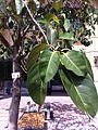 HKCL CWB tree 高山榕 Ficus altissima Oct-2013 002.JPG