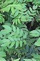 HK 上環 Sheung Wan 永利街休憩花園 Wing Lee Street Rest Garden plant 羽狀複葉 green compound leaves October 2017 IX1 03.jpg