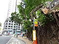 HK Mid-Levels 般咸道 Bonham Road trees 7-Aug-2015 DSC (3).jpg