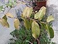HK Mid-levels High Street clubhouse green leaves plant February 2019 SSG 26.jpg