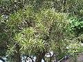 HK Sunday Wan Chai Park Myrtaceae Callistemon rigidus Stiff Bottle-brush 2.JPG