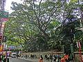 HK TST 尖沙咀 Haiphong Road 海防道 33 Camphora tree Mar-2013.JPG