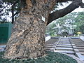 HK TST Kln Park 大葉合歡 Albizia lebbeck Siris East Indian Walnut Siris Tree Brown Blbizia.JPG