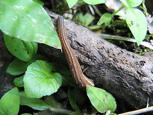 Leech - Haemadipsa zeylanica, a terrestrial leech found in the mountains of Japan