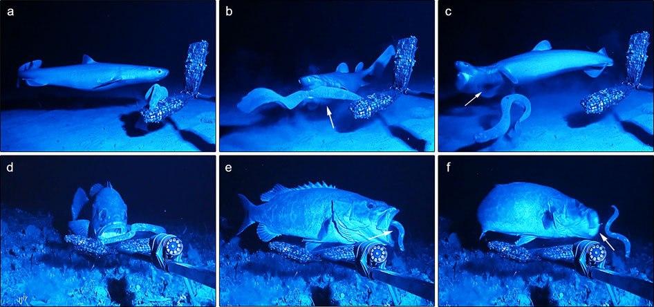Hagfish Slime Predator Deterrence