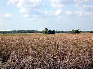 Hammock (ecology) - Hammocks growing on a Florida marshland.