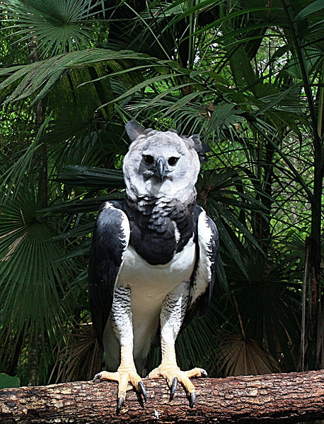 File:Harpia harpyja -Belize-8a.jpg