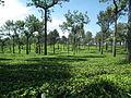 Harrison Malayalam Tea Garden Munnar 6112.JPG