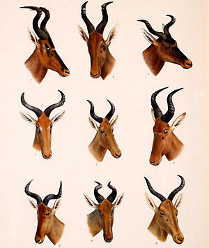 Hartebeest - Hartebeest subspecies: Bubal hartebeest (centre); (clockwise from top-left corner) red hartebeest, Lelwel hartebeest, Swayne's hartebeest, western hartebeest, Neumann's hartebeest, Lichtenstein's hartebeest, Coke's hartebeest and Tora hartebeest, from Great and Small Game of Africa