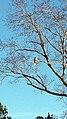 Hawk Hillsborough NC 160750 (31856129572).jpg