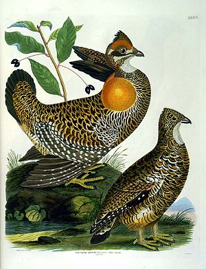 Heath hen - Male and female