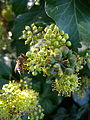 Hedera helix flower honey bee.jpg