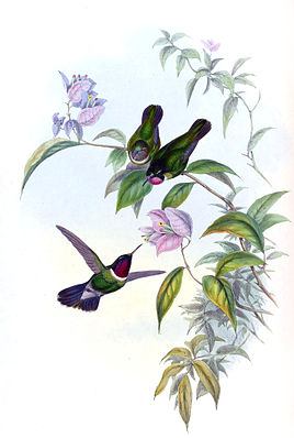 Heliangelus clarisse gemalt von John Gould