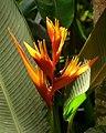 Heliconia psittacorum 'Guyana' (2) (14901358385).jpg