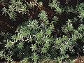 Heliotropium anomalum var. argenteum (5188038990).jpg