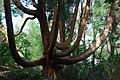 Hen Gedrwydden Siapan Portmeirion Old Japanese Cedar - geograph.org.uk - 708536.jpg