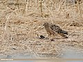 Hen Harrier (Circus cyaneus) (32705325638).jpg