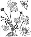 Hepatica nobilis Schreb. var. obtusa (Pursh) Steyerm Roundlobe hepatica.tiff