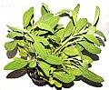 Herb salvia.jpg