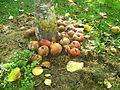Herbstäpfel.jpg