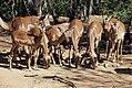 Herd of Impala, North West Province (6252689809).jpg