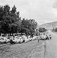 Herder met kudde schapen langs een weg in een heuvelachtig en boomrijk landschap, Bestanddeelnr 255-4624.jpg