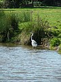 Heron on the Trent and Mersey Canal - geograph.org.uk - 575131.jpg